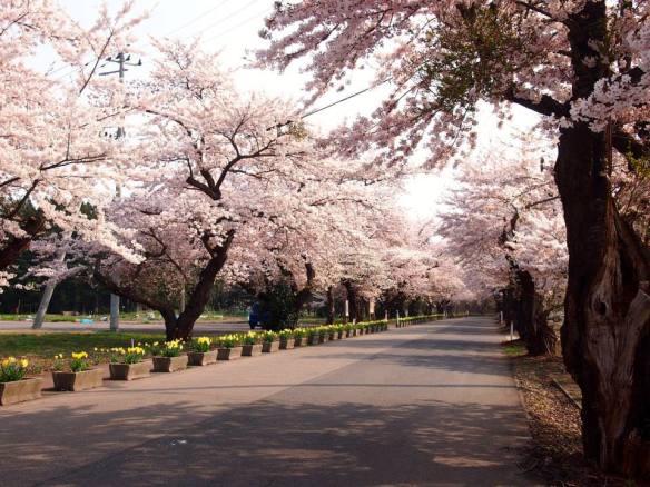 Sakura Trees (Akita)